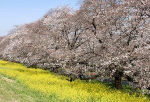 Krisebærtræer i Tokyo